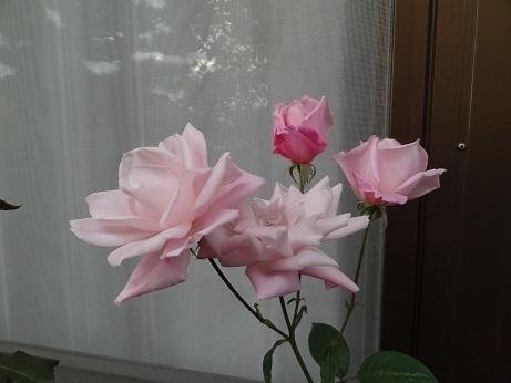 DSC02756桜貝