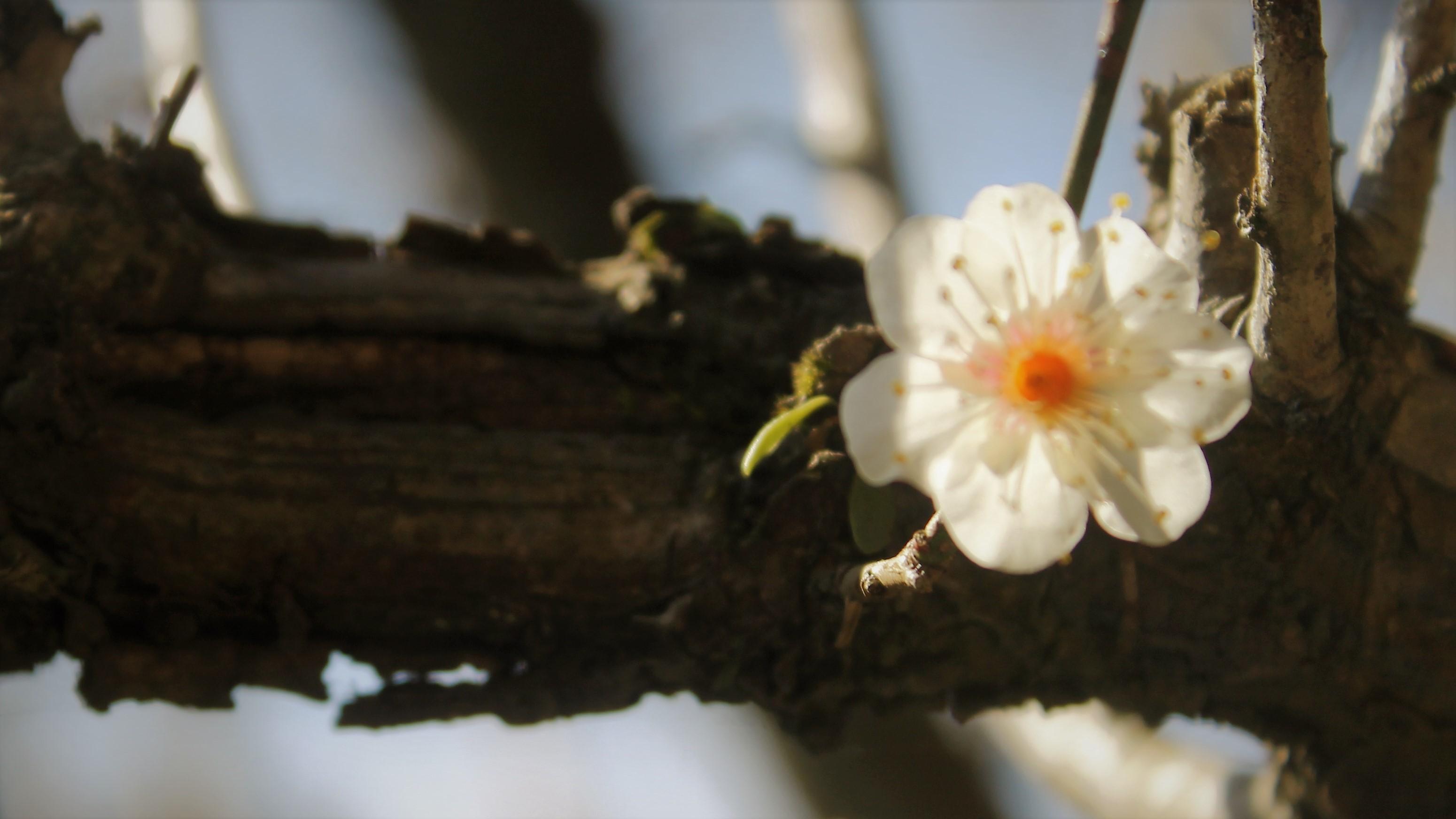 老木の白梅