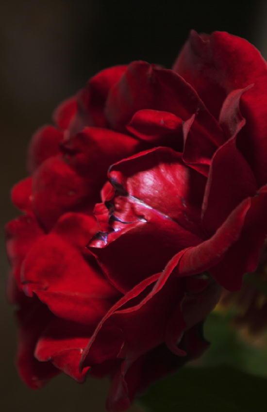 薔薇-708