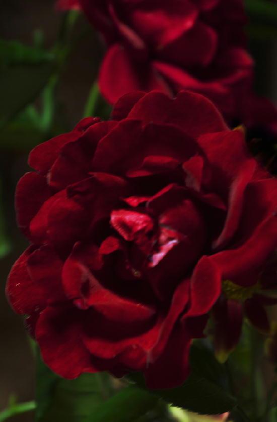 薔薇-713