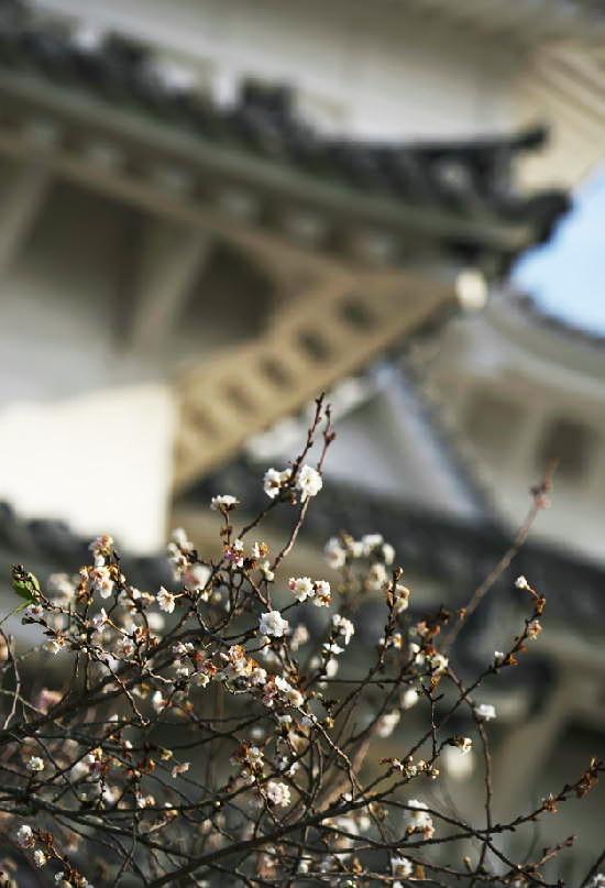四季桜-950-1