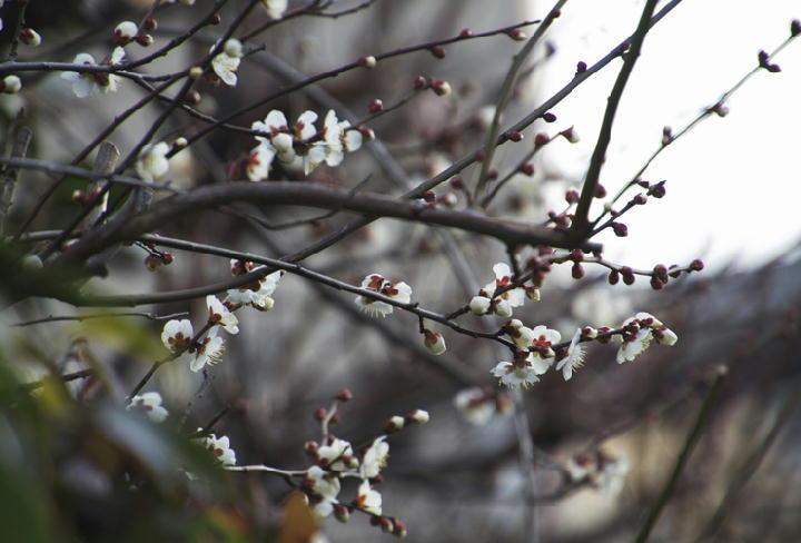隣の梅の花-963