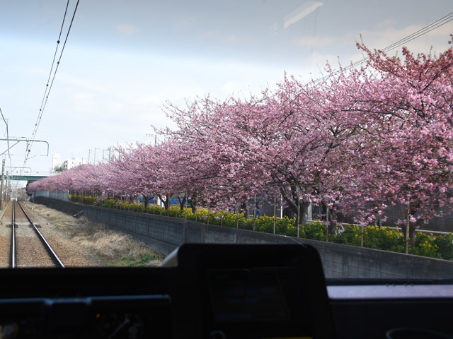 kawazuzakura_180226.jpg