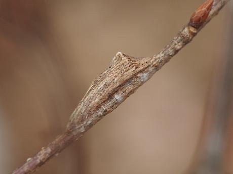 コブガ幼虫の一種・繭