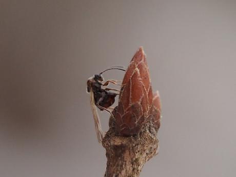 タマバチの一種・産卵