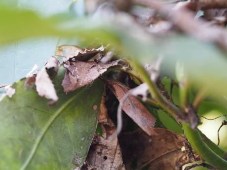 テングチョウ越冬2