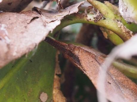 テングチョウ越冬3