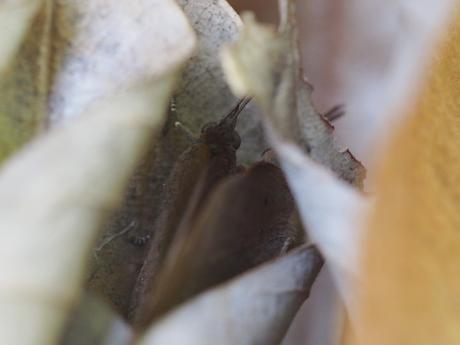 ムラサキシジミ2匹越冬