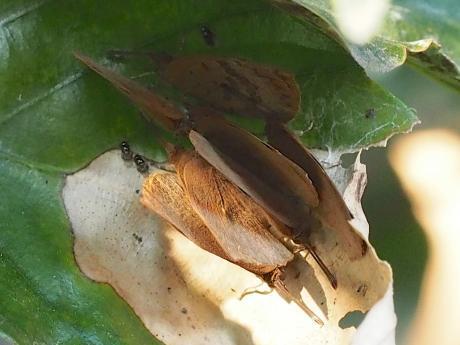 ムラサキシジミ7匹越冬
