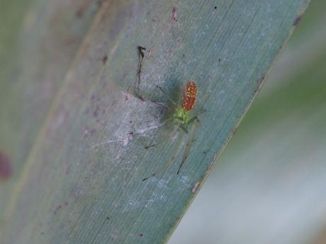 ウロコアシナガグモ幼体か