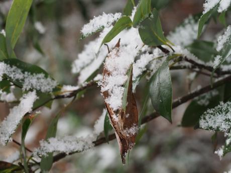ムラサキシジミ越冬