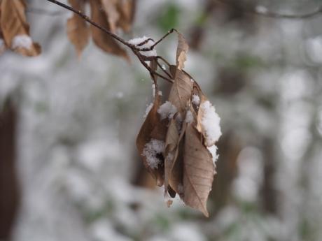 ムラサキシジミ越冬2