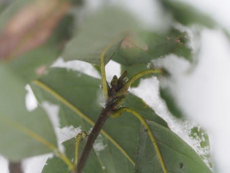 カギバエダシャク幼虫