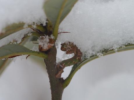 ヒメカギバエダシャク幼虫