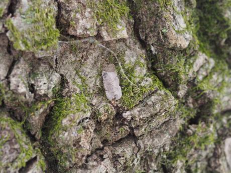 ヒゲナガガの一種・蓑