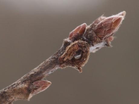キマエアオシャク幼虫2