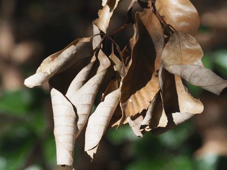 越冬ムラサキシジミ3匹
