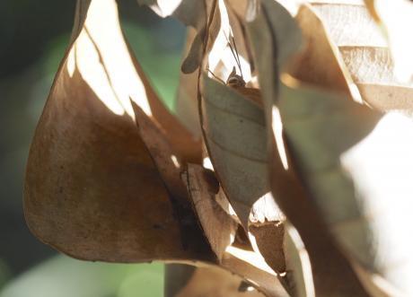 越冬ムラサキシジミ3匹2