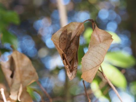 越冬ムラサキシジミ6匹