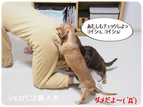 ショコバニと新人犬