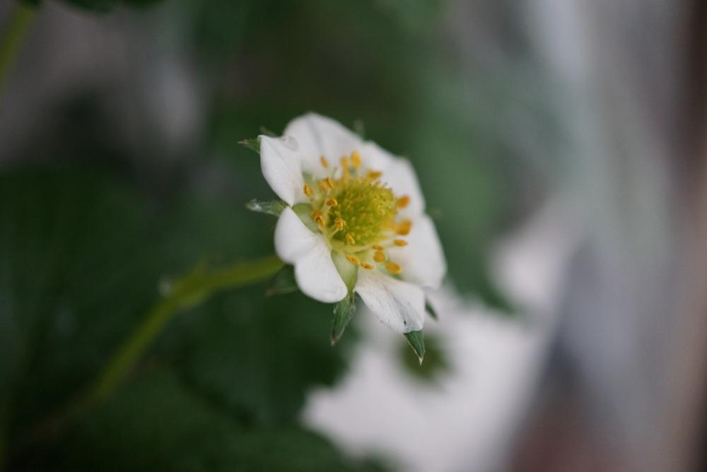 いちご花20180228