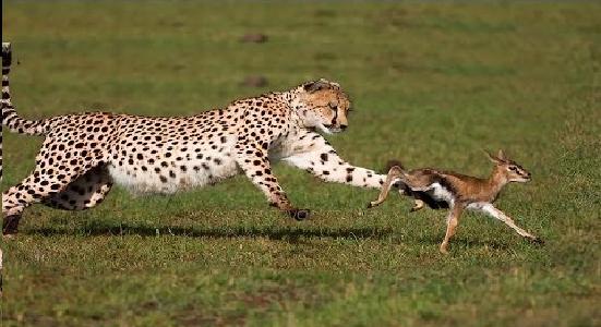 チーター  狩り