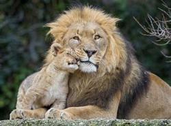親子 ライオン