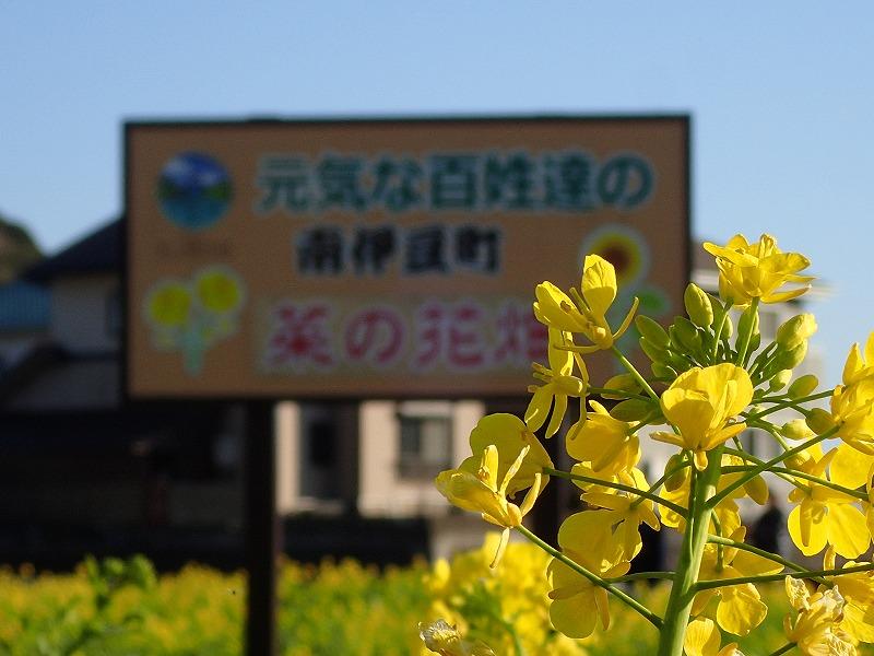 南伊豆菜の花畑