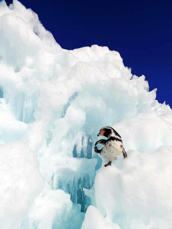フンボルトペンギン-3