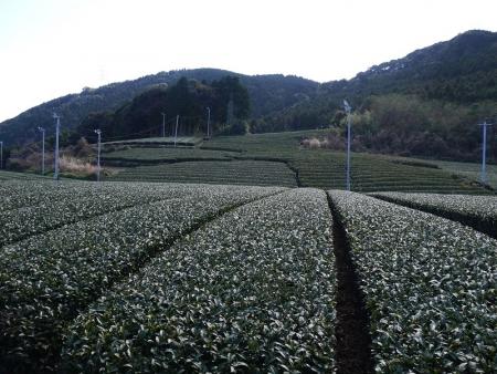 茶園(3)