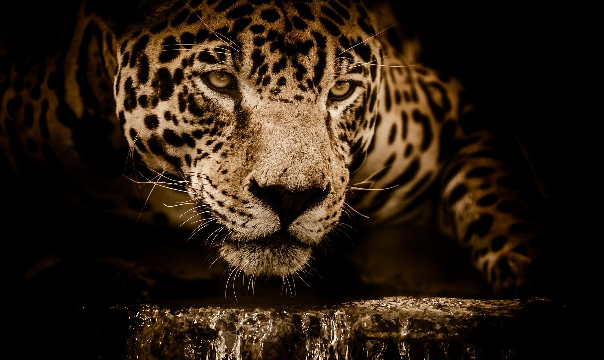 jaguar-2894706_1920.jpg