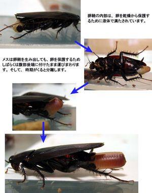 【ゴキブリ研究所】初仕事は50万匹放し飼いの部屋掃除!3-2