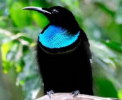 この世で最も黒い鳥の秘密が判明する!99.95%の光を吸収し極度