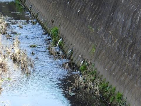 上三谷橋上流の湧水