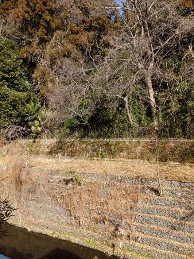 姥川左岸の蛇籠護岸