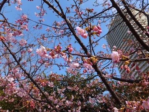 お台場海浜公園の河津桜