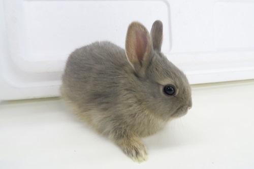 ミニウサギ0115 (1)