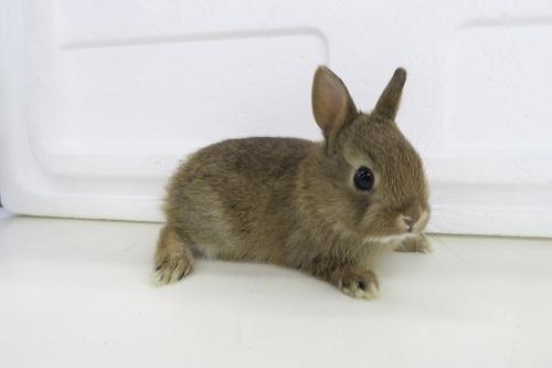 ミニウサギ0115 (4)