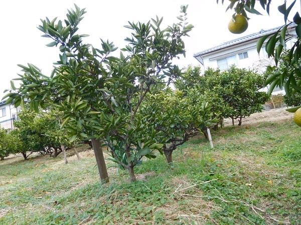 ミカン畑3001 (1)