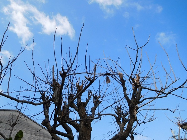 柿の木剪定3001 (2)