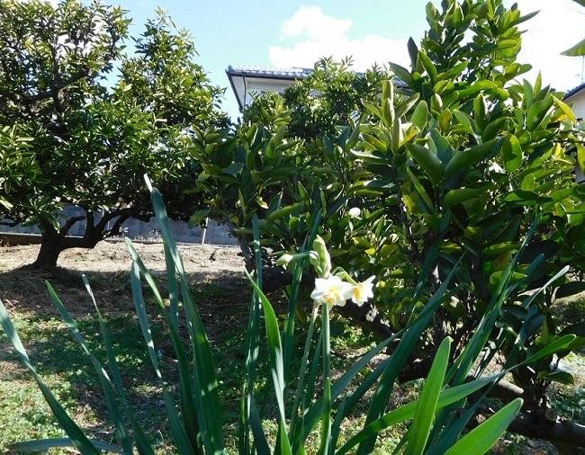 水仙とミカンの木3001