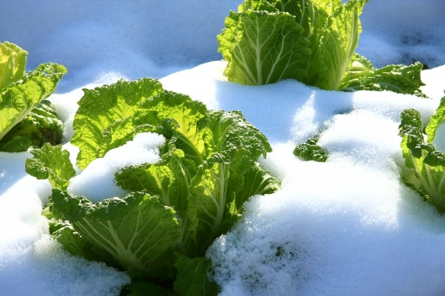 雪の中の白菜