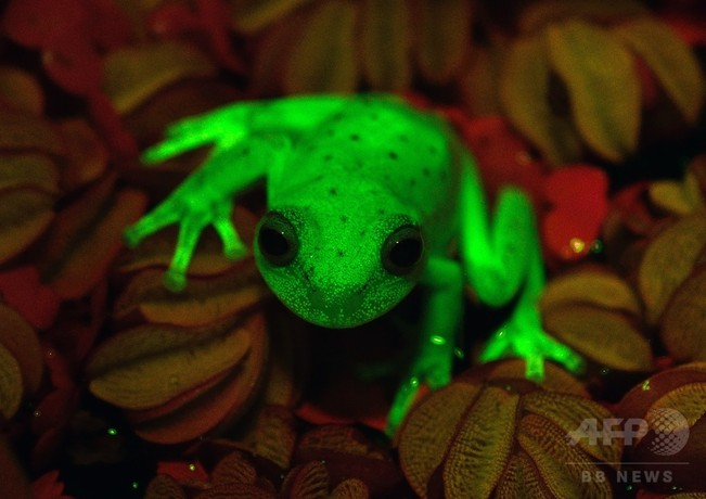 00 f 蛍光を発するカエル