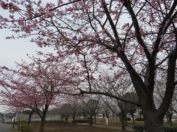 2C03 河津桜8分咲き 0221