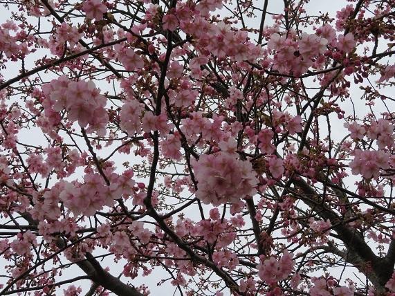 4C09 河津桜8分咲き 0221