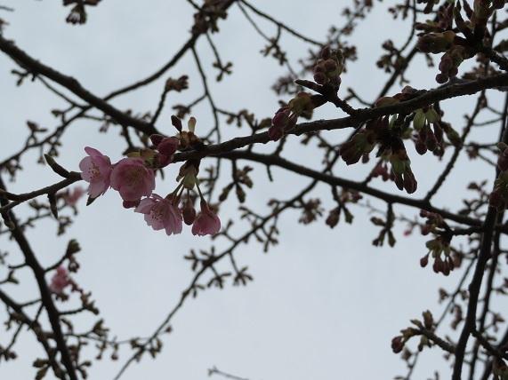 9C01 河津桜1分咲き 0221