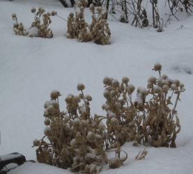 雪の中でドライフラワー