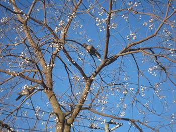 白い実と鳩・冬