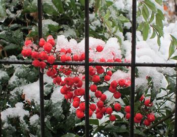 雪かぶり南天・冬
