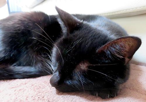 眠る黒猫チョコ